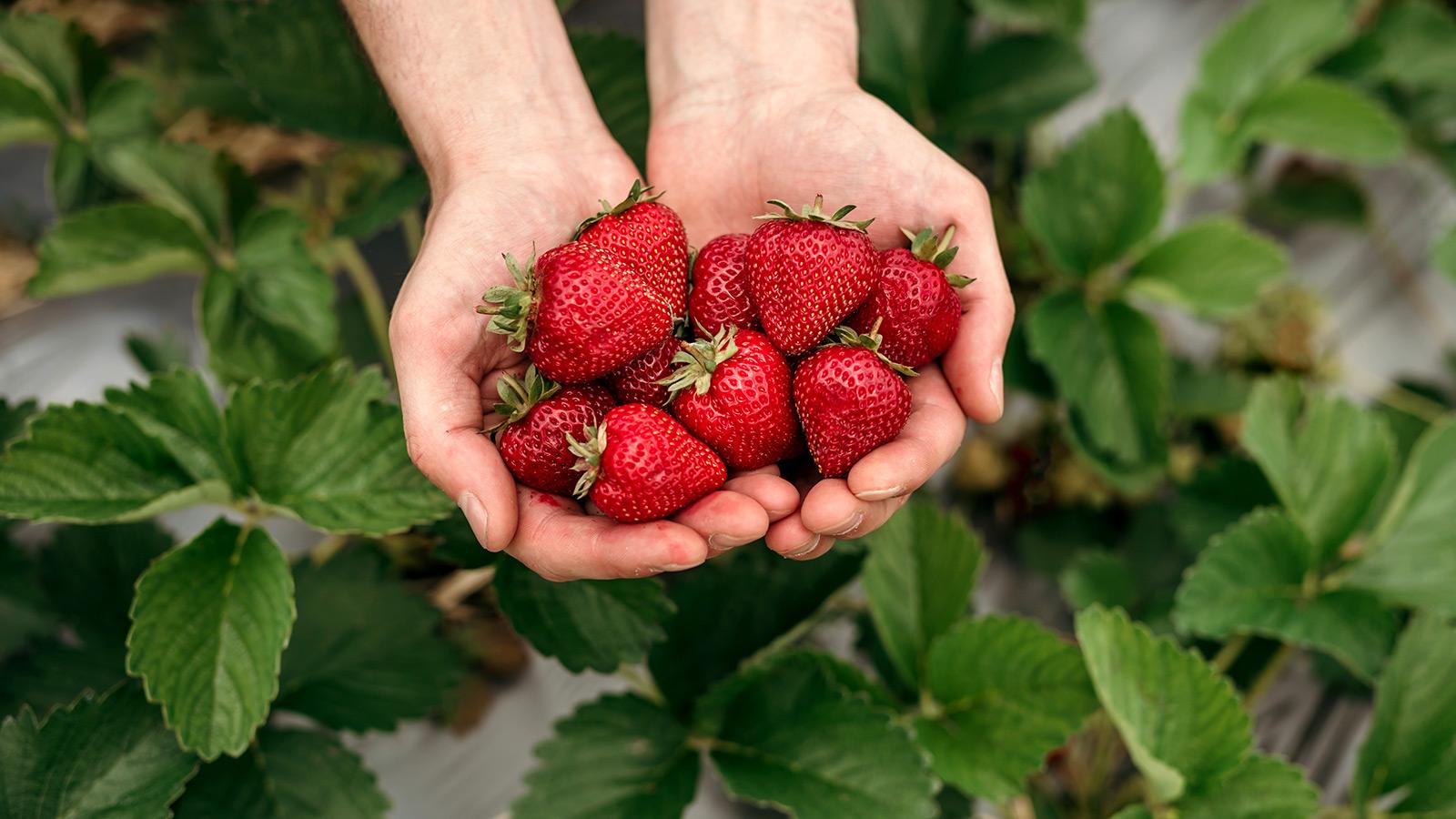Rewe Petz - Erdbeeren